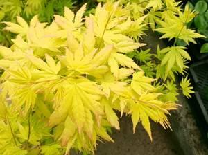 Bilde av Japanlønn – Acer palmatum 'Orange Dream' (ca 1m.)