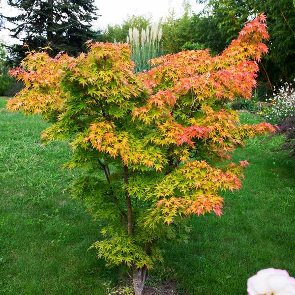 Japanlønn – Acer palmatum 'Orange Dream' (ca 1m.)