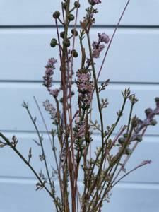 Bilde av Stilk med blomst lilla nyanser