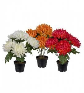 Bilde av Chrysanthemum 30cm høy 3 ass farger