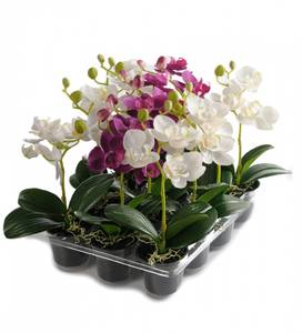 Bilde av Orchide mini 23cm Høy 2 ass farger