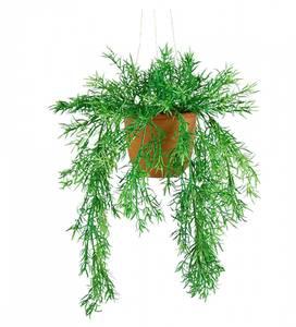 Bilde av Asparagus 40cm heng, potte inkl.
