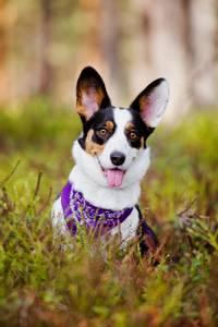 Bilde av Lilla bandana - hundeskjerf paisley
