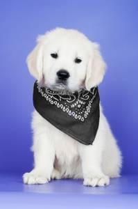 Bilde av Sort bandana - hundeskjerf paisley