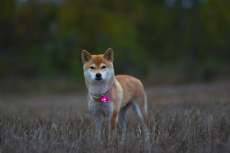 Fresht LED lys til hund