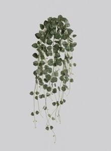 Bilde av Hjerteplante uten potte