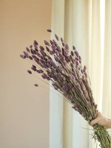 Bilde av Big Phalaris - Misty Purple