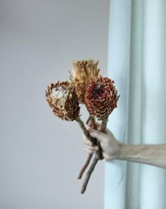 Bilde av Protea Magnifica Natural -