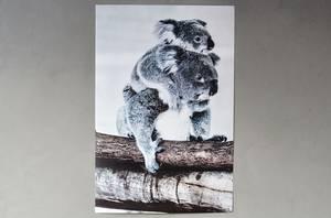 Bilde av Plakat med koalabjørn 60*90