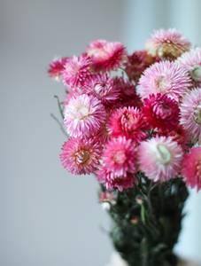 Bilde av Helichrysum - Natural pink
