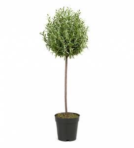 Bilde av Mr. Plant - Rosmarin kunstig tre 65cm