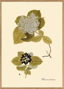 Bilde av Viburnum plakat 50x70 The Dybdahl Co.