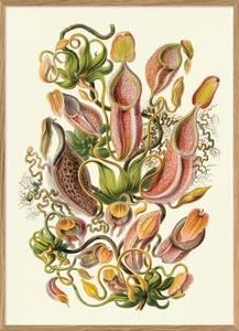 Bilde av Nepenthaceae plakat 30x40 The Dybdahl Co.