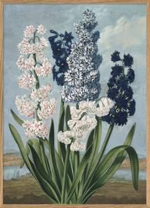 Bilde av White and blue hyacints plakat 30x40 The Dybdahl