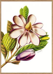 Bilde av Purple Magnolia Flower plakat 30x40 The Dybdahl