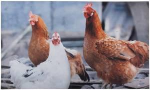 Bilde av Dørmatte Høner
