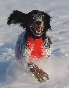 Bilde av Jægerens Superdekken Hannhund nr 2