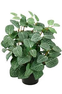 Bilde av Fittonia i potte H: 34 cm
