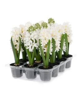 Bilde av Hyacint hvit 23 cm