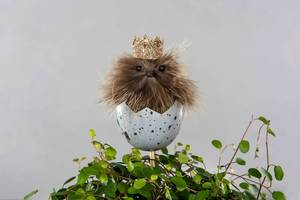 Bilde av Kylling i egg m krone Stikk 7
