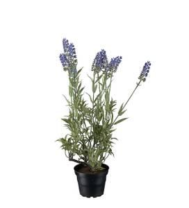 Bilde av Lavendel i potte 10x45 cm