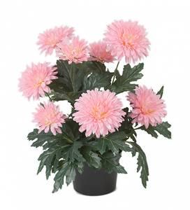 Bilde av Chrysanthemum Rosa 30x9 cm