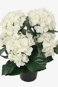 Bilde av Hortensia hvit i potte H 38