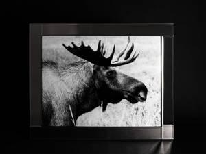 Bilde av Bilde Elg Glassprint med