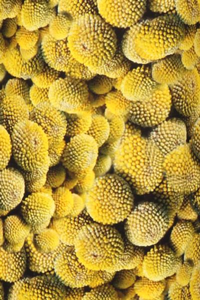 Bilde av Craspedia gul kjole D5