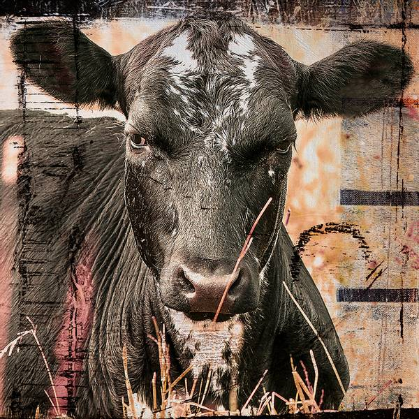 Bilde av Cow 20 x 20 cm Nr 32