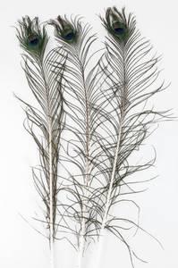 Bilde av Påfuglfjær 80-100cm