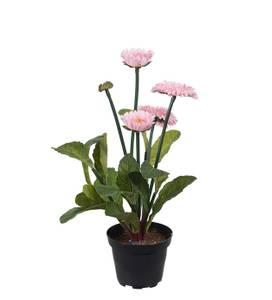 Bilde av Tusenfryd plante rosa