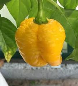 Bilde av 7 pot Brainstrain Yellow, chilifrø