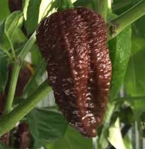 Bilde av Chocolate Bhutlah