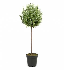 Bilde av Mr Plant Rosmarin 65 cm