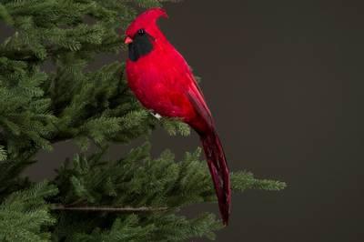 Bilde av Fugl Cardinal