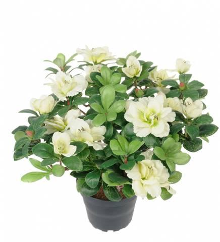 Bilde av Azalea hvit 25 cm