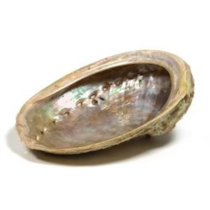 Bilde av Abalone shell - Haliotis
