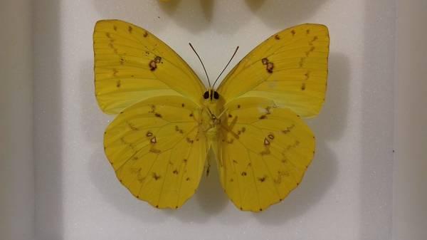 Bilde av Phoebis philea, over- og underside