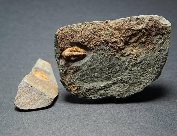 Bilde av  Trilobitt (Agraulos ceticephalus)