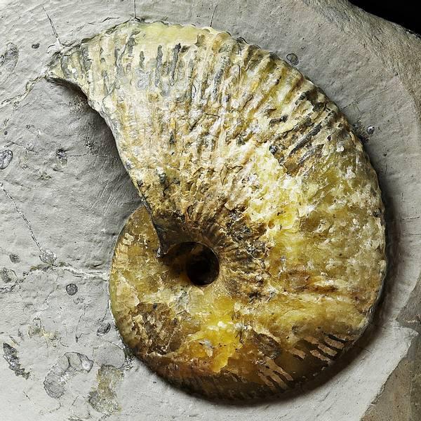 Bilde av Liparoceras