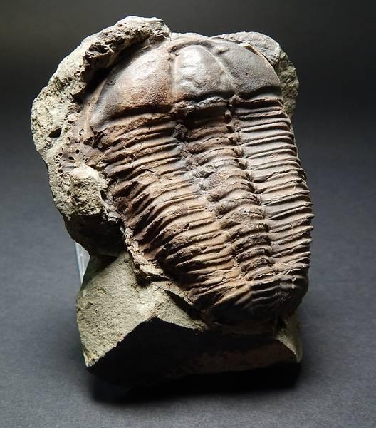 Bilde av  Trilobitt (Conocoryphe sulzeri sulzeri)