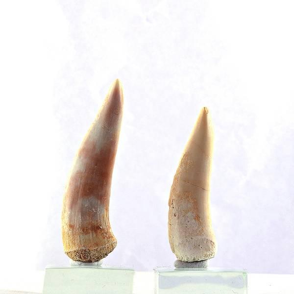 Bilde av Fossil tann av