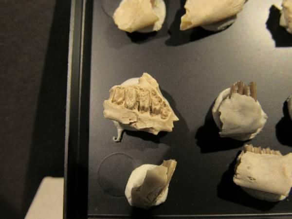 Bilde av Kjevefragmenter, kanin (Paleolagus haydeni)