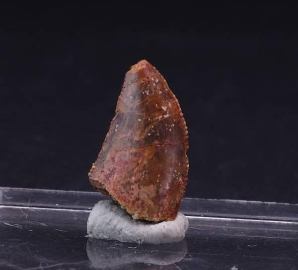 Bilde av Uidentifisert rovdinosaurtann (Abelisauridae sp.?)
