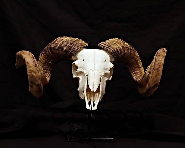 Bilde av Skalle av sau med horn på stativ