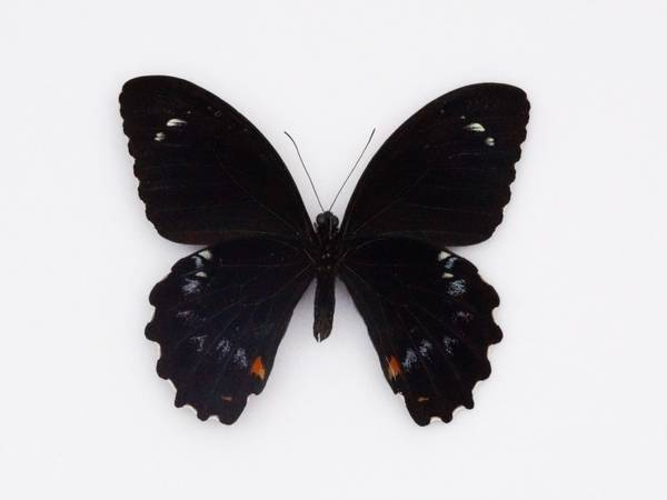 Bilde av Papilio gambrisius