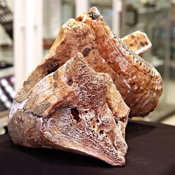 Bilde av Underkjeve med jeksel av ung mammut