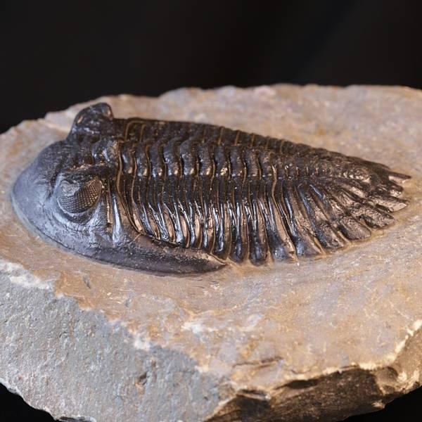 Bilde av Trilobitt (Hollardops mesocristata)