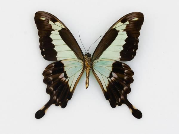 Bilde av Papilio phorcas